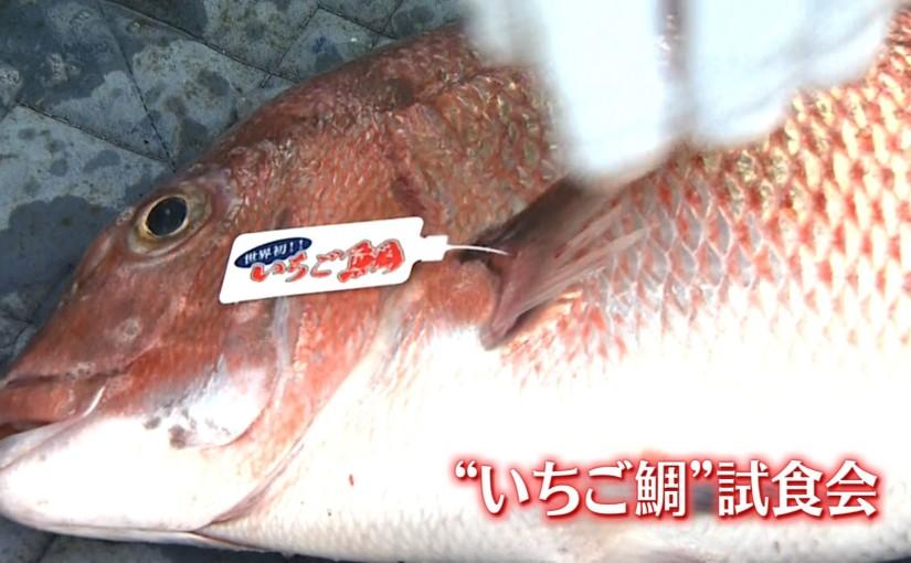 いちご鯛 本命.jpg